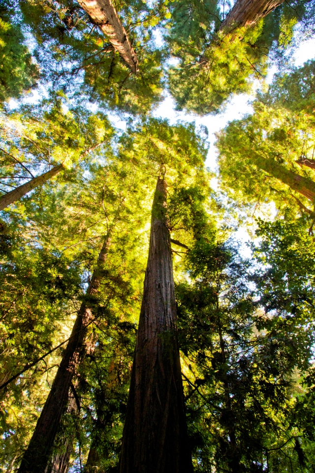 Redwoods in Henry Cowell State Park