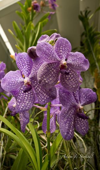 orchid-padua-botanical-garden
