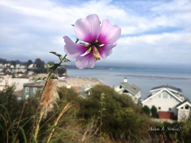 hibiscus santa cruz